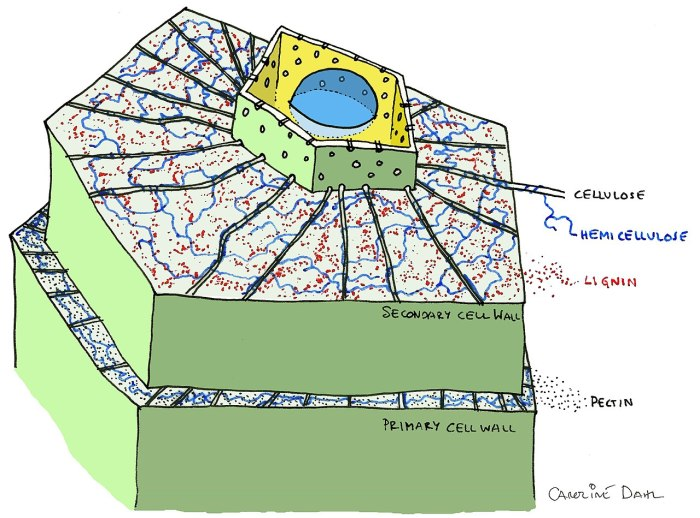 Labelled diagram of a plant cell wall including cellulose