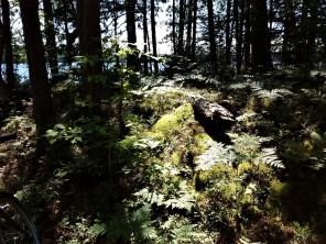ferns_buck_pond_trail