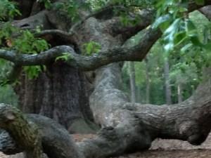 Angel Oak Tree 2