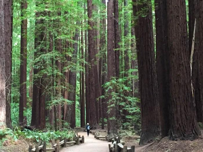 Redwoods Ter2