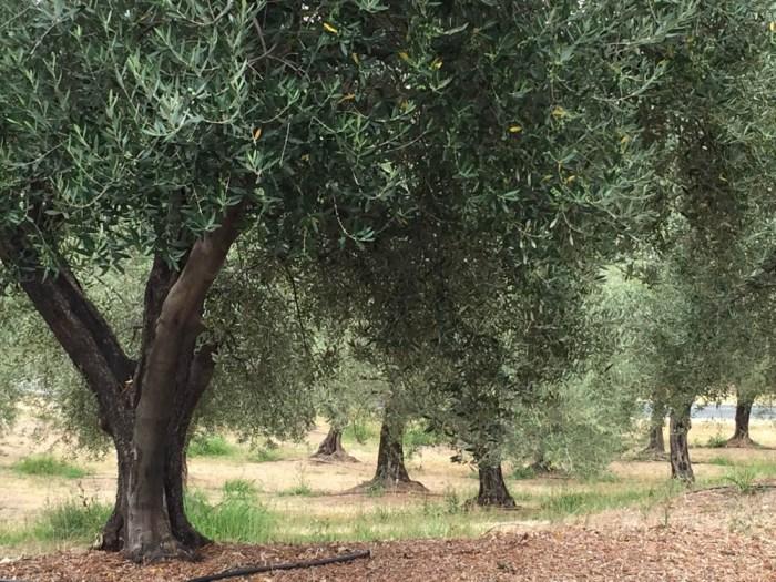 B.R. Cohn olive trees
