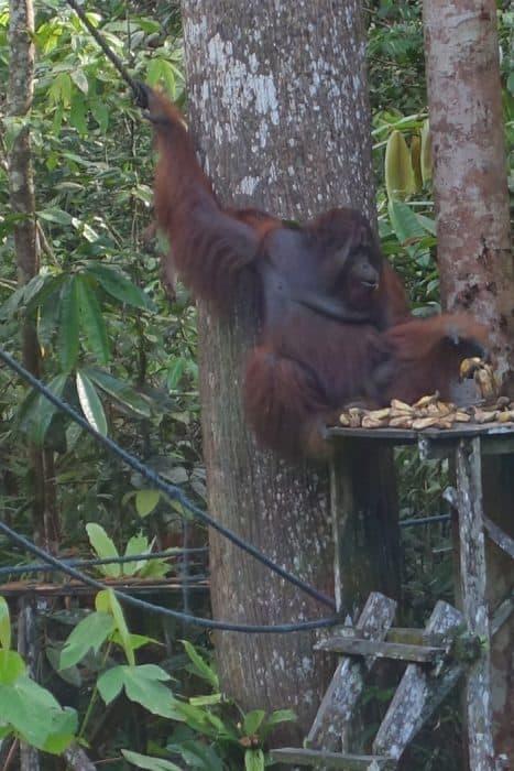 Orangutan sanctuary borneo, Orangutans in Kuching, borneo orangutan, orangutan borneo, orangutan sanctuary borneo, orangutans in borneo, Seeing Orangutans in Borneo: A magical experience seeing this fascinating endangered animal in its natural setting, Semmengoh, Urang utan, Kuching, Kota Kinabalu, monkey, ape, endangered, wild, semi wild, safe, price, how to get to Semmengoh from Kuching,