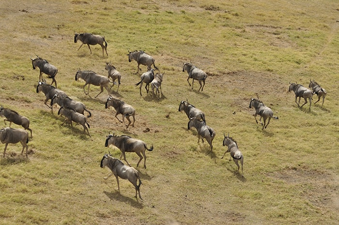 wildebeest running along the savanna during the great migration, Backpacker Kenya Safari, Tanzania budget safari, Backpackers Africa, Kenya budget safari, Affordable African safari, Safari on a budget, African safari on a budget
