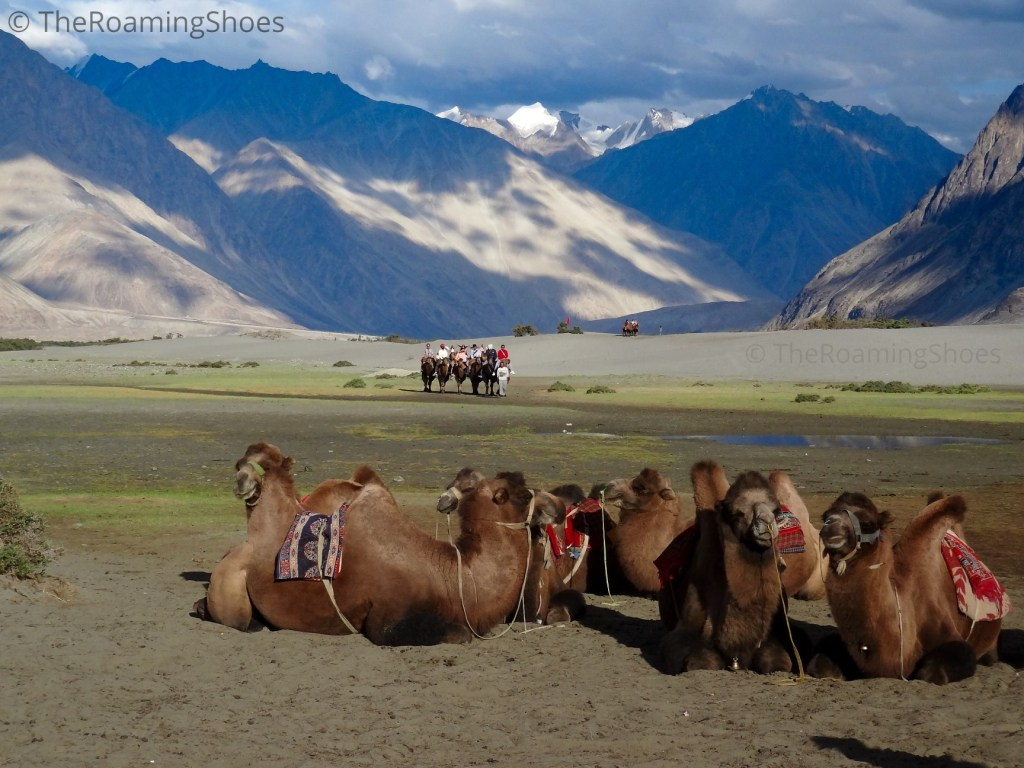 The Bactrian Camels of Nubra