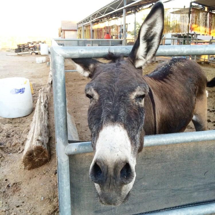 Donkey, Boulder City, NV