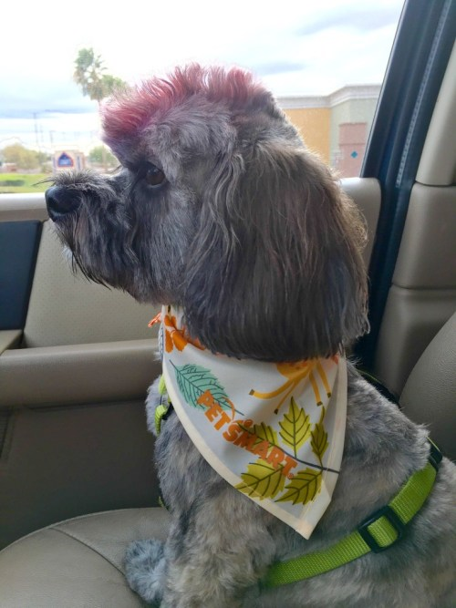 Mr. Twix after his PetSmart grooming
