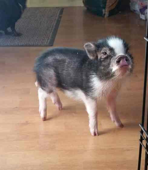 Pepper the Pig