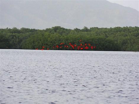 Scarlet Ibis flying toward their roosts