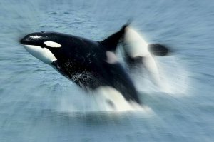 FICTION.Killerwhales_jumping