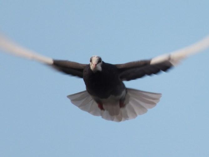 Birmingham Roller in flight