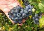 Big Blueberries in a hand