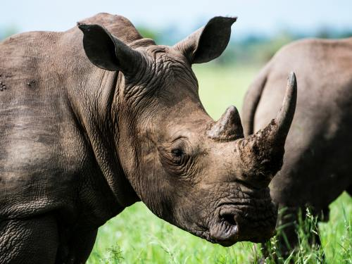 Save Rhino campaign launched
