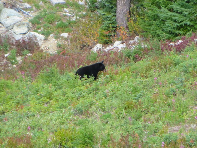 Black Bear Whistler Canada | The Rose Table