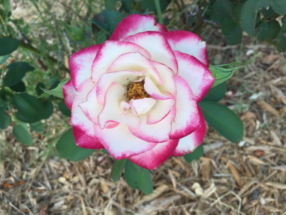 Cherry Parfait Rose   The Rose table