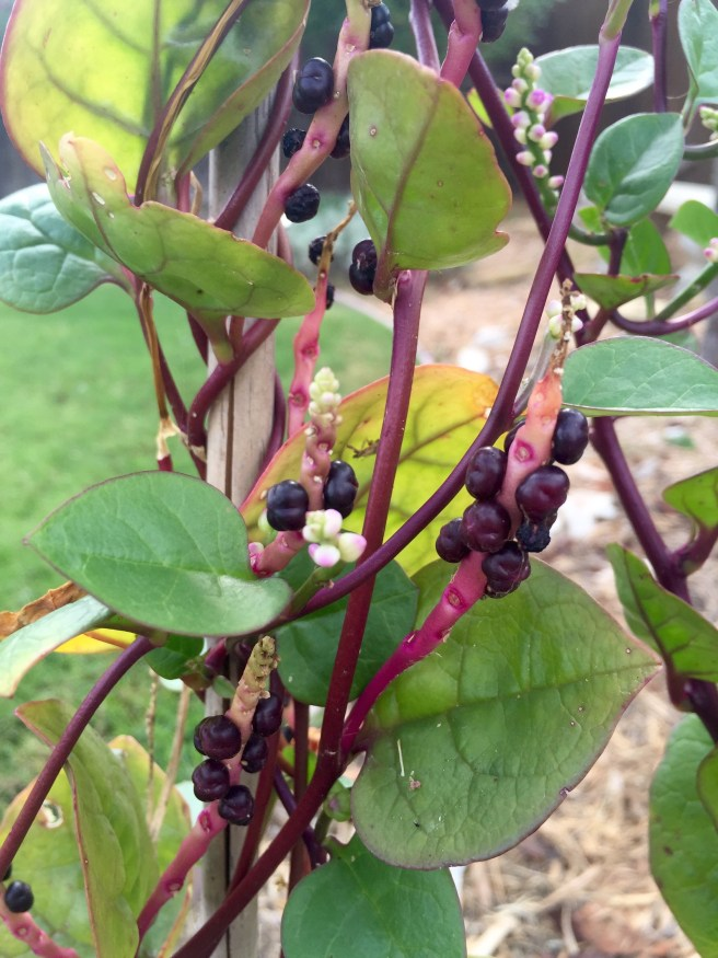 Malabar Spinach | The Rose Table