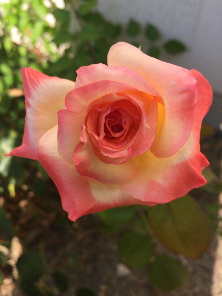 Elegant Lady Rose   The Rose Table