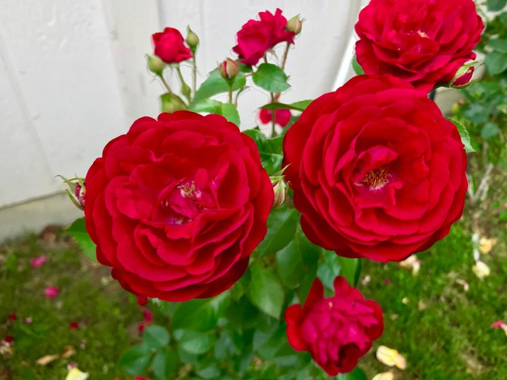 Bordeaux Rose | The Rose Table