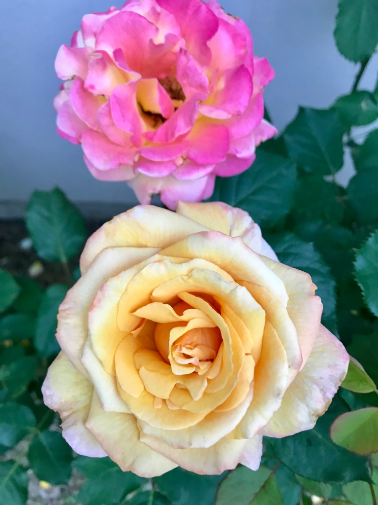 Tahitian Sunset Rose | The Rose Table