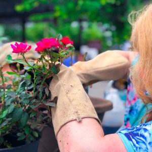 Top Garden Blogger, How to Grow Roses