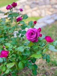 Plum Perfect Floribunda Rose