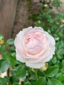 Earth Angel Rose
