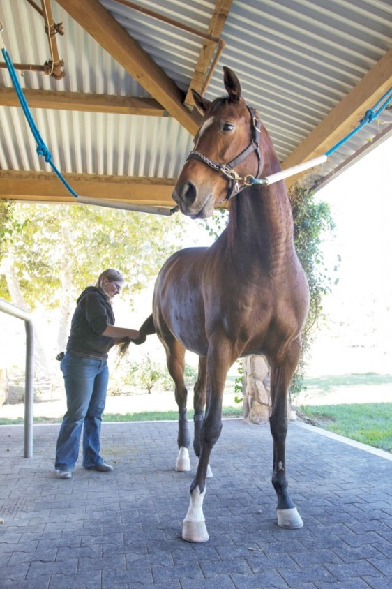 Volunteer Director of the Thoroughbred Education Foundation Inc. Tracy Wachbrit preps a horse to get brushed in Moorpark, Calif. on Nov. 23, 2014.