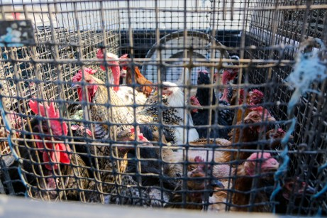 Chickens in a cage at the Equestrian Center in Woodland HIlls, Ca. on Oct. 11, 2019. (Photo/Benjamin Hanson)