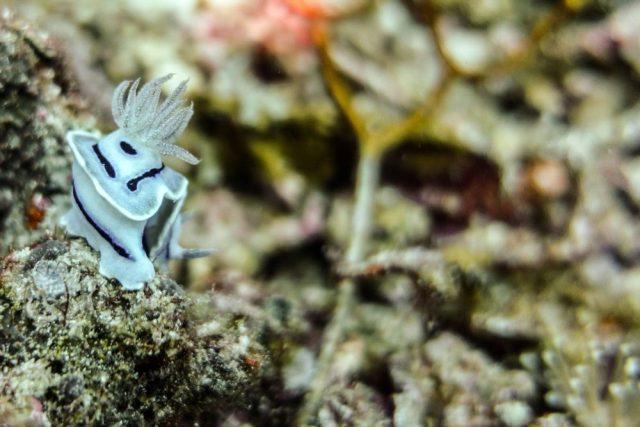 Raja Ampat Liveaboard - White nudiobranch