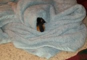 Snickers wrapped in blanket with her nose sticking out, curious about what is going on outside the blanket.