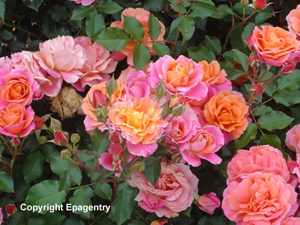 texas-rose-bloom-03