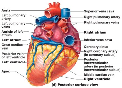 Posterior-surface-view-of-the-human-heart