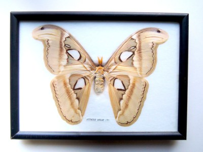 atlas_moth