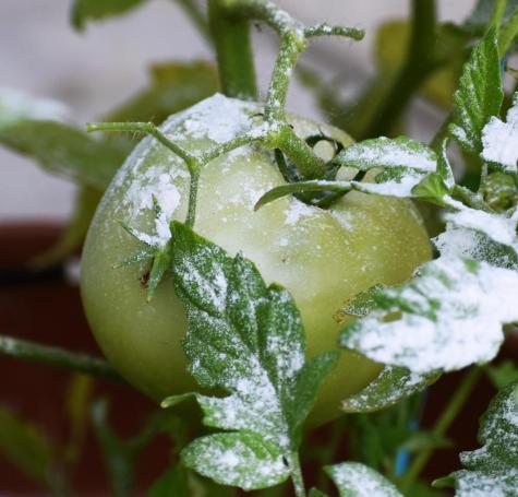 Sprinkling flour over crops can serve as a natural pesticide.