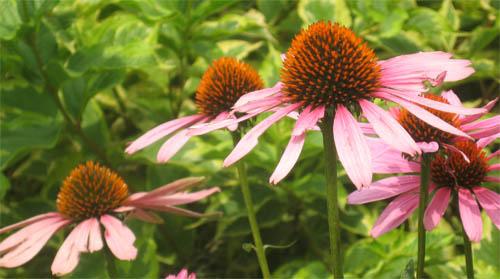 Echinacea in Drew Gardens