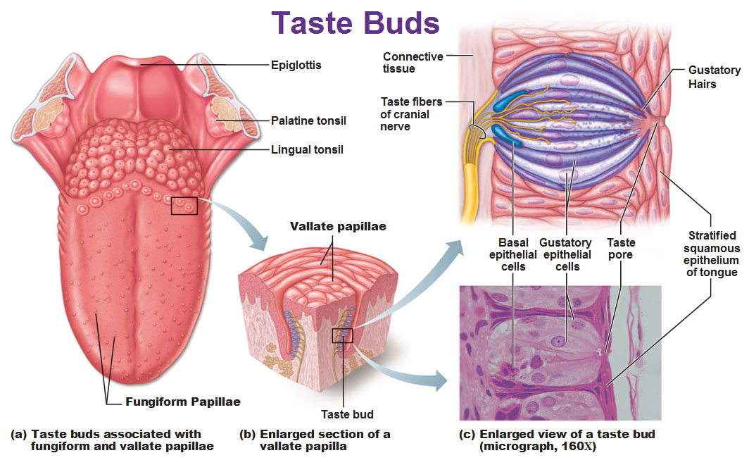 diagram of the human tongue and taste buds guitar wiring diagrams explained smell | salience