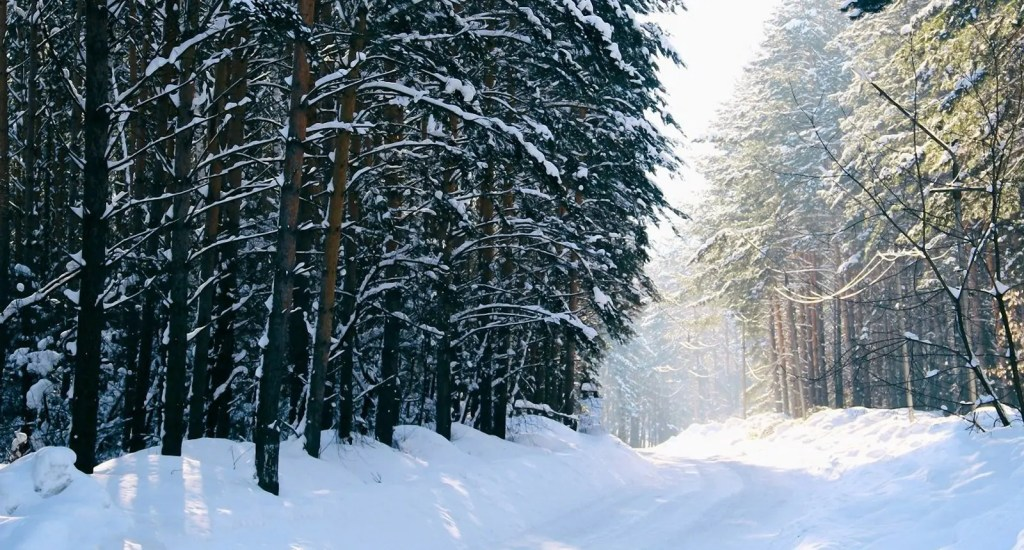 A Siberian Forest covered in Snow