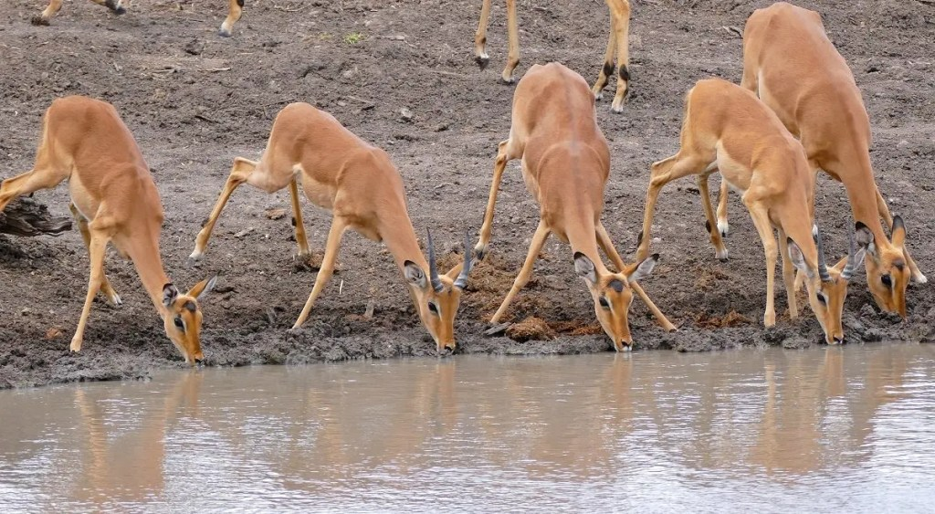 These bucks cautiously sip water, but always wary of an approaching attack - Image: Flickr/Bernard DUPONT