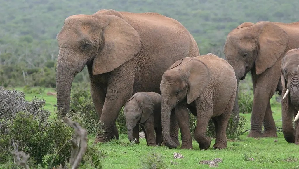 Addo Elephant National Park is in the Eastern Cape Province 72km by road from Port Elizabeth - Image: Flickr/Mike Gerhardt