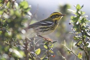 A female Townsend's warbler; also on the ceanothus behind Schrier's room, a handsome yellow and black winter visitor.