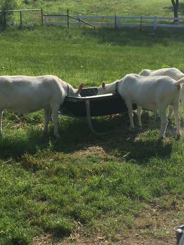goatseating