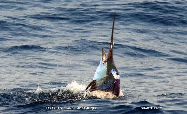 58kg Sailfish (c) Duarte Rato