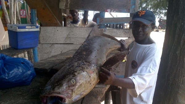 Massive cobia caught off Tofo
