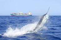 Deep water Blue Marlin abound in the deep Cape Verde waters (c) Rato