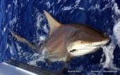 Grown up Zambezi Shark off Bazaruto (c) Duarte Rato
