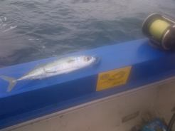 This mackerel rigged on the # 1 MYDO Baitswimmer soon became the KawaKawa / SardaSarda in the other shot.