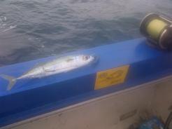 This mackerel rigged on the # 1 MYDO Baitswimmer soon became the KawaKawa / SardaSarda in the other shot.