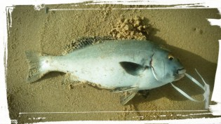 Its called a lemon fish here in Tofo