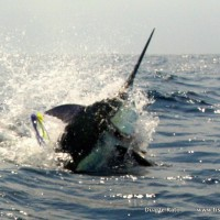 Blue Marlin Bazaruto. The Sardine News Travel Agency can get you out there