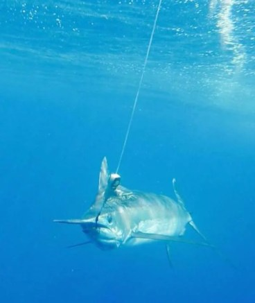 An Inhaca Blue Marlin underwater, all released