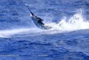 Blue marlin are wild in Cape Verde right now